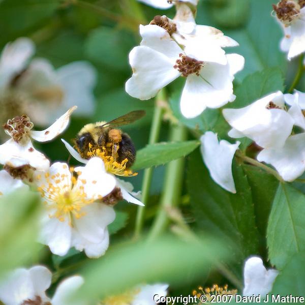 Bumble Bee in Raspberry Flowers. Macro Images of Nature in New Jersey. Image taken with a Nikon D2xs and 70-200 mm f/2.8 VR and TC-E 14 teleconverter (ISO 400, 280 mm, f/4, 1/200 sec). Raw image processed with Capture One Pro 6, Focus Magic, NIK Define 2, and Photoshop CS5.. (David J Mathre)