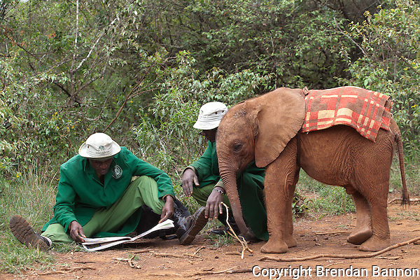 Keepers reading the Daily Nation while Naipoki with one of the 18 orphaned baby elephants at the David Sheldrick Wildlife Trust in Nairobi National Park looks on. (Photographer: Brendan Bannon)