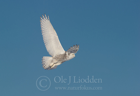 Snowy Owl (Bubo scandiaca), Lappland, Finland (Ole Jørgen Liodden)