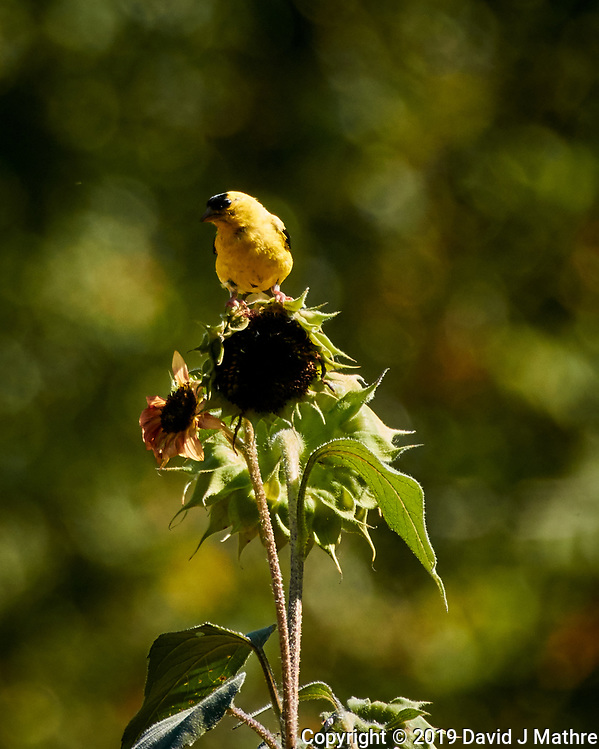 Goldfinch feeding on Sunflowers. Image taken with a Nikon 1 V3 camera and 70-300 mm VR lens (DAVID J MATHRE)