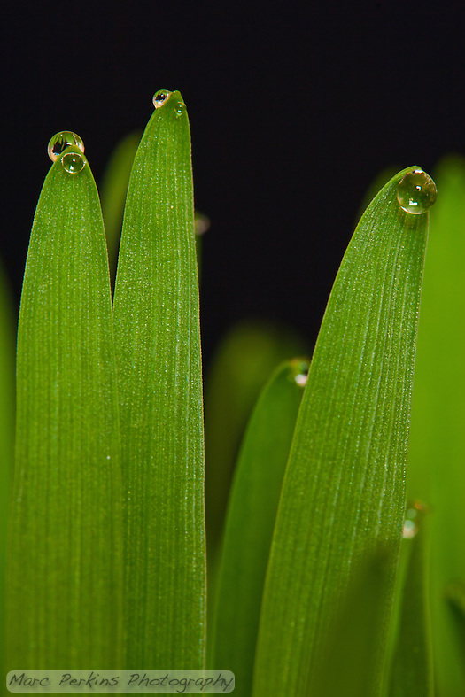 "Three stalks of tack oat grass {Avena sativa}  with large drops of clear water at their tips stand against a black background with multiple other strands of grass blurred out of focus in the background.  The water is present because the grass is guttating; guttation is a process wherein plants release water at the tips of their stems due to root pressure.  I like how the other strands of grass give the image a feeling as though it's taken in a lawn or field of grass, without distracting from the primary element (the guttation).   This is an uncropped image, so it should be able to be enlarged to print at 16x24"" easily. (Marc C. Perkins)"