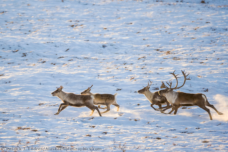 Barren ground caribou run along the arctic coastal plains, Arctic Alaska. (Patrick J. Endres / AlaskaPhotoGraphics.com)