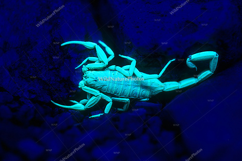 Bark Scorpion (Centruroides exilicauda) fluorescing under UV light at night (Arizona) (Richard Wagner/Rich Wagner | WildNaturePhotos)