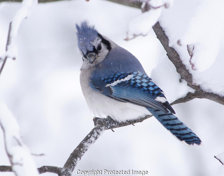 The blue jay was not happy that I was around.  It glared at me over its shoulder in hopes that I would go back into the house so it could fly to the feeder.  It had been snowing for more than a day and the birds were hungry for easy pickings. (G.T. Bancroft)