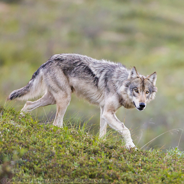Gray wolf alpha female on the tundra of Denali National park, Interior, Alaska. (Patrick J. Endres / AlaskaPhotoGraphics.com)