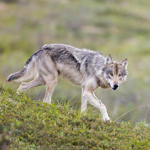 Gray wolf alpha female on the tundra of Denali National park, Interior, Alaska. (Patrick J. Endres / AlaskaPhotoGraphics.com)