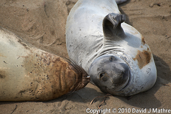 Elephant Seals at Piedras Blancas Beach, Central California Coast. Image taken with a Nikon D3x and 70-300 mm VR lens (ISO 100, 300 mm, f/6.3, 1/250 sec) (David J Mathre)