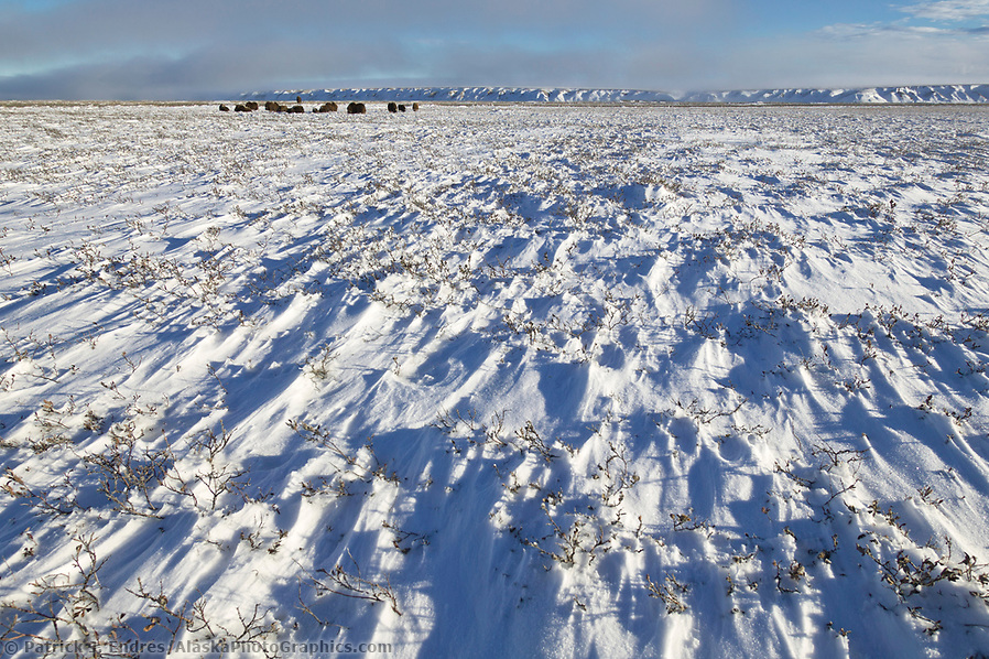 Muskoxen herd, wind blown snow, coastal plains of Alaska's Arctic, (Patrick J. Endres / AlaskaPhotoGraphics.com)