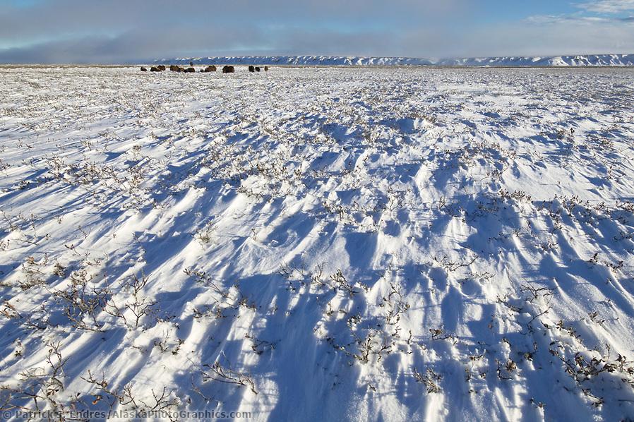 Muskoxen herd, wind blown snow, coastal plains of Alaska's Arctic, (Patrick J. Endres / AlaskaPhotoGraphics.com)
