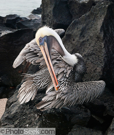 Galapagos Brown Pelican (Pelecanus occidentalis, subspecies: urinator) at Suaraz Point, Española (Hood) Island, Galapagos Islands, Ecuador, South America. (© Tom Dempsey / Photoseek.com)