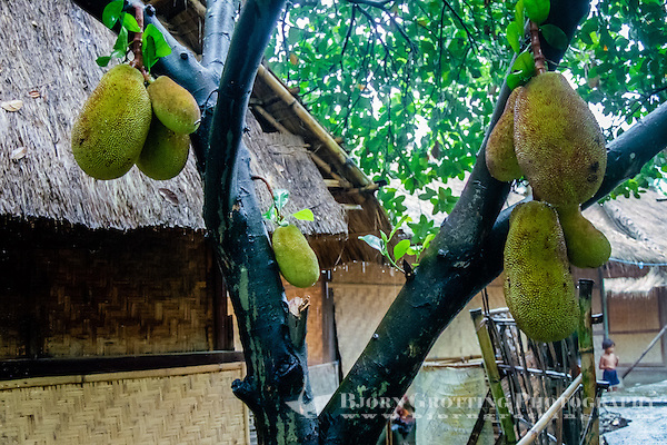 Nusa Tenggara, Lombok, Sade. Sade village. The jak fruit is a close relative to breadfruit, and can be very large. It is eatable and tastes quite good. (Bjorn Grotting)