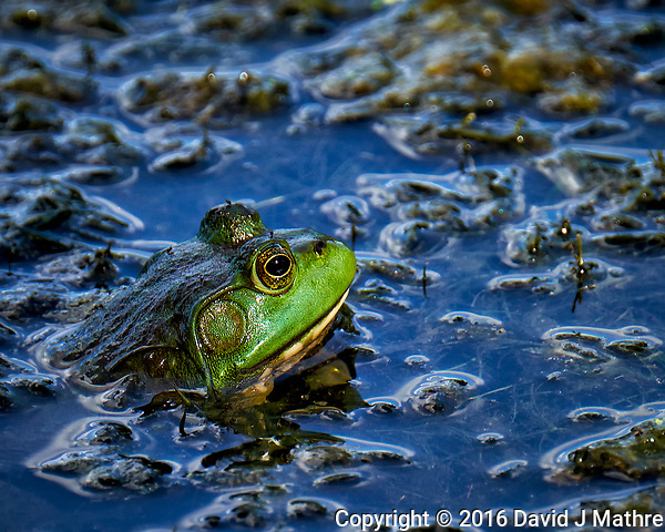 Kermit the Bullfrog in the Pond. Image taken with a Fuji X-T1 camera and 100-400 mm OIS lens (ISO 200, 400 mm, f/5.6, 1/210 sec). (David J Mathre)