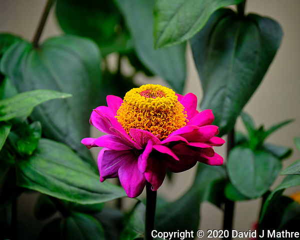 Indoor Hydroponic Zinnia Flower. Image taken with a Fuji X-T2 camera and 100-400 mm OIS lens (ISO 200, 400 mm, f/6.4, 1/170 sec). (David J Mathre)