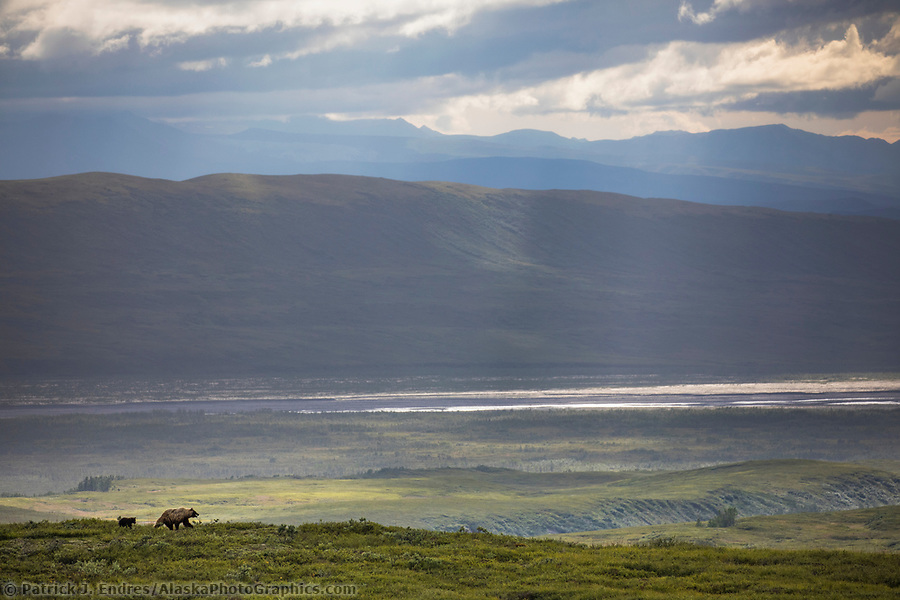 Grizzly bear photos: Sow grizzly walks across the green tundra overlooking the McKinley River bar in Denali National Park, Alaska Ⓒ Patrick J. Endres / AlaskaPhotoGraphics.com