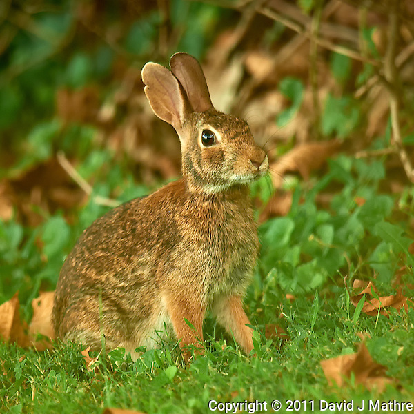 Harvey the Rabbit. Backyard Summer Nature in New Jersey. Image taken with a Nikon D3x and 600 mm f/4 VR lens (ISO 200, 600 mm, f/4, 1/60 sec). Raw image processed with Capture One Pro, Nik Define 2, and Photoshop CS5. (David J Mathre)