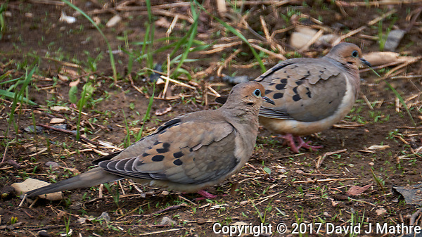 Pair of mourning doves in my Garden. Spring in New Jersey. Image taken with a Fuji X-T2 camera and 100-400 mm OIS lens (ISO 200, 400 mm, f/6.4, 1/125 sec). (© 2017 David J Mathre)