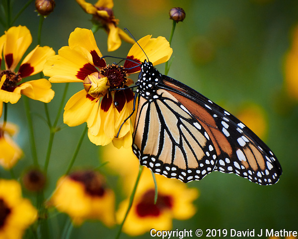 Monarch Butterfly on a Coreopsis Flower. Image taken with a Nikon 1 V3 camera and 70-300 mm VR lens. (DAVID J MATHRE)