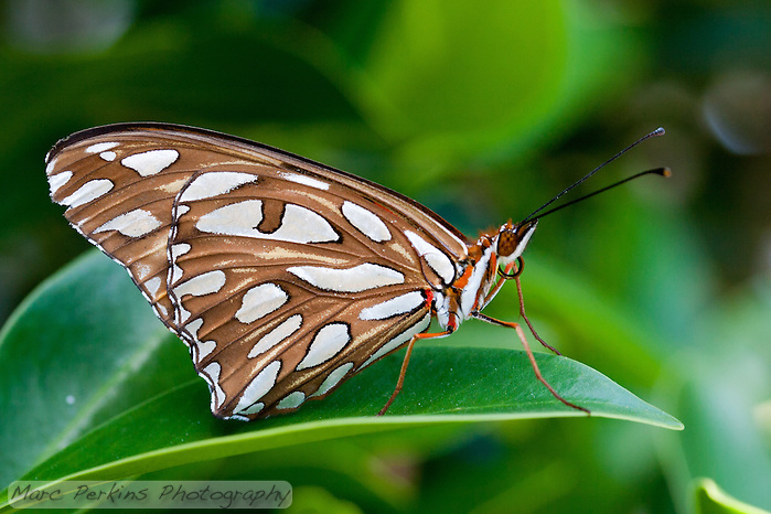 A gulf fritillary [Agraulis vanillae incarnata] stands on a [Ficus] leaf.  The spots on its wings when closed are white in the shade (as in this image), but reflect light to appear a beautiful silver when illuminated.  When its wings are closed, the bright orange and red colors of the butterfly are completely hidden. (Marc Perkins)