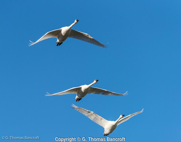 Three tundra swans pass right over head on their flight from a night roost on Skagit Bay to inland feeding fields in Skagit County. (G. Thomas Bancroft)