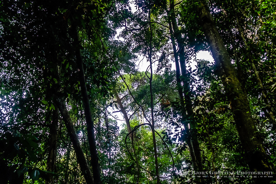 Indonesia, Sumatra. Bukit Lawang. Gunung Leuser National Park. The orangutan sanctuary of Bukit Lawang is located inside the park. Orangutans can be seen high up in the trees. (Photo Bjorn Grotting)
