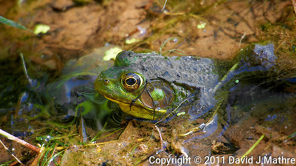 Bullfrog at the Sourland Mountain Reserve. Image taken with a Nikon D3s and 70-200 mm f/2.8 VR lens + TC-E III 20 teleconverter (ISO 400, 400 mm, f/5.6, 1/100 sec). Raw image processed with Capture One Pro, Focus Magic, and Photoshop CS5. (David J Mathre)