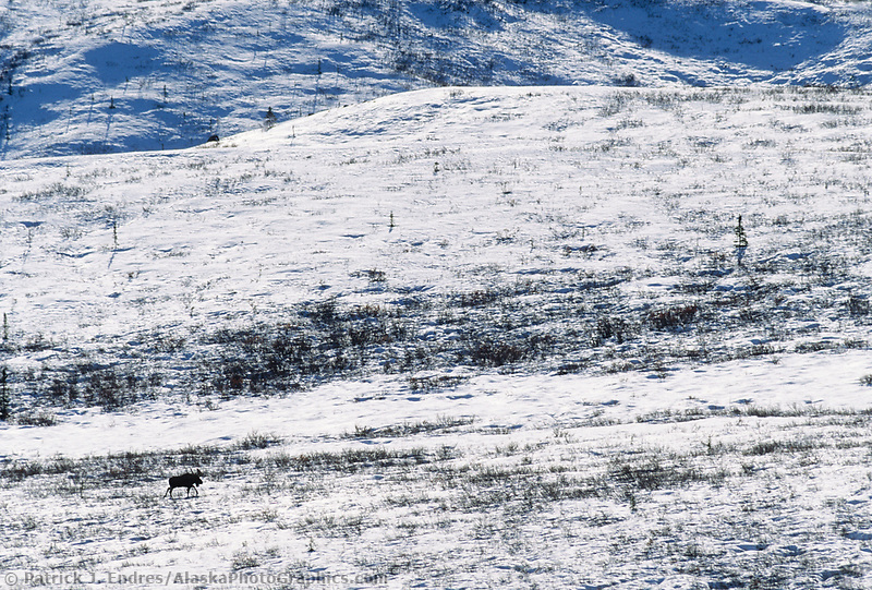 Bull moose, treks across snow covered tundra during mating season, Denali National Park, Alaska (Patrick J. Endres / AlaskaPhotoGraphics.com)