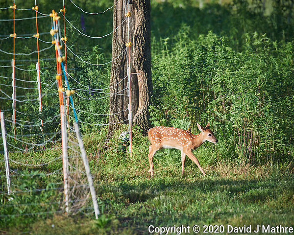 Fawn with spots. Image taken with a Nikon D5 camera and 600 mm VR lens (DAVID J MATHRE)