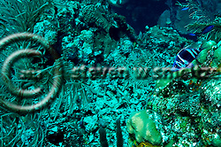 Indigo Hamlet, Hypoplectrus indigo, Grand Cayman (StevenWSmeltzer.com)