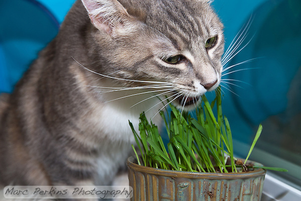 Lucca munches on newly germinated (and nibbled on) oat grass (tack oats; Avena sativa). (Marc C. Perkins)