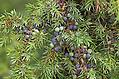 Gewöhnlicher Wacholder, Heide-Wacholder, Früchte, Juniperus communis, Common Juniper, Genévrier commun (Frank Hecker)