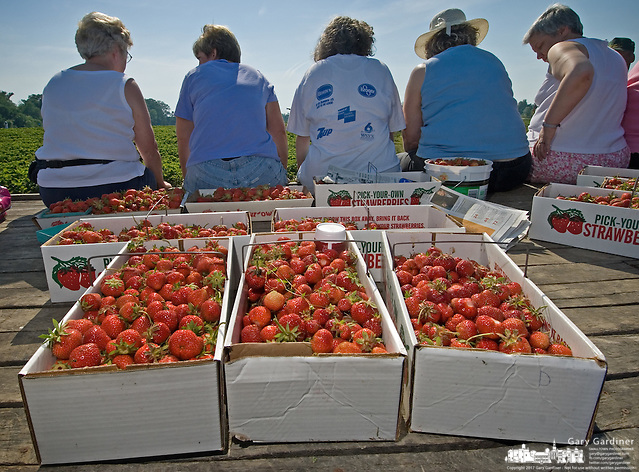 Fresh picked spring strawberries are gathered in cardboad containers on the floor of a farm wagon at a u-pick farm near New Albany, Ohio. (Gary Gardiner/EyePush Newsphotos)
