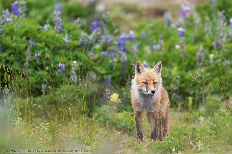 Red fox in wildflowers on Amaknak Island, Dutch Harbor, Aleutian Islands, Alaska. (Patrick J Endres / AlaskaPhotoGraphics.com)