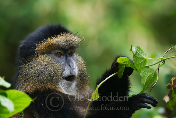 golden monkey (Cercopithecus kandti) in Virunga, Rwanda (Ole Jørgen Liodden)