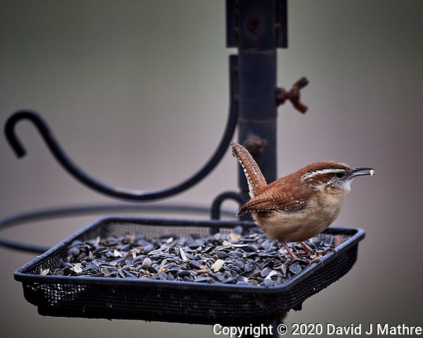 March Wren. Image taken with a Nikon D5 camera and 600 mm f/4 VR lens (ISO 1600, 600 mm, f/4, 1/800 sec). (DAVID J MATHRE)