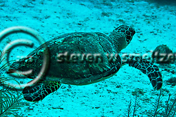 Green Sea Turtle, Seven Mile Beach, Eden Rock, Grand Cayman (Steven Smeltzer)