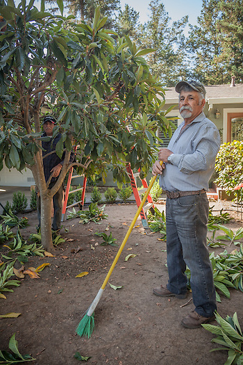 Luis Robledo clears vegetation in front of his home on Cedar Street in Calistoga. (Clark James Mishler)