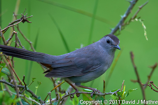 Grey Catbird. Early Summer Nature in New Jersey. Image taken with a Nikon D300 and 600 mm f/4 lens (ISO 200, 600 mm, f/4, 1/200 sec). Raw image processed with Capture One Pro 6, Focus Magic, Nik Define 2, and Photoshop CS5. (David J Mathre)