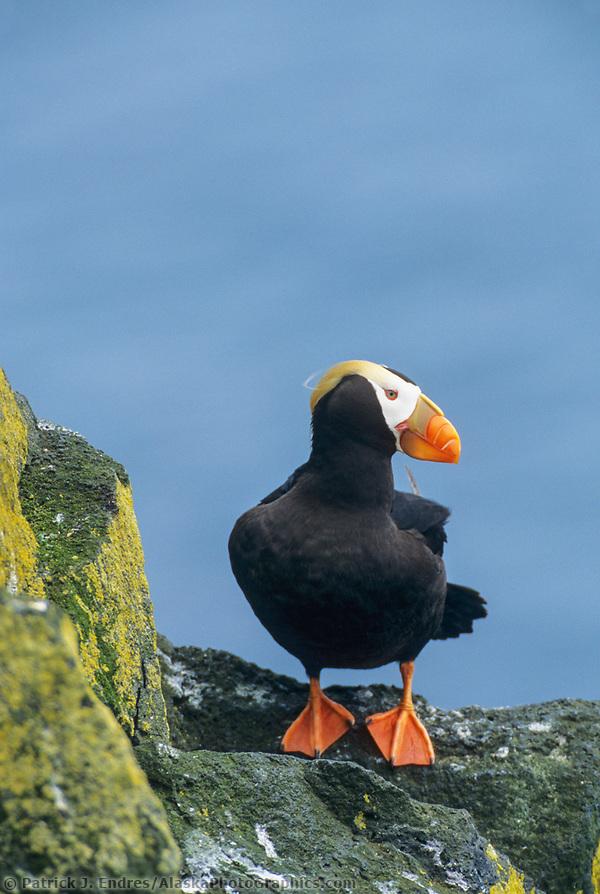 Tufted Puffin, St. Paul Island, Pribilof Islands, Alaska. (Patrick J. Endres / AlaskaPhotoGraphics.com)