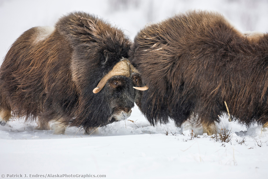 alaska wildlife photos: Bull muskox on the snow covered tundra of the Arctic North Slope, Alaska (Patrick J Endres / AlaskaPhotoGraphics.com)