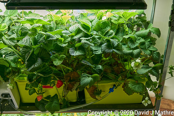 Hydroponic Tub 03-04. Strawberry Plants (85 days). Image taken with a Leica TL-2 camera and 35 mm f/1.4 lens (ISO 1000, 35 mm, f/8, 1/50 sec). (DAVID J MATHRE)