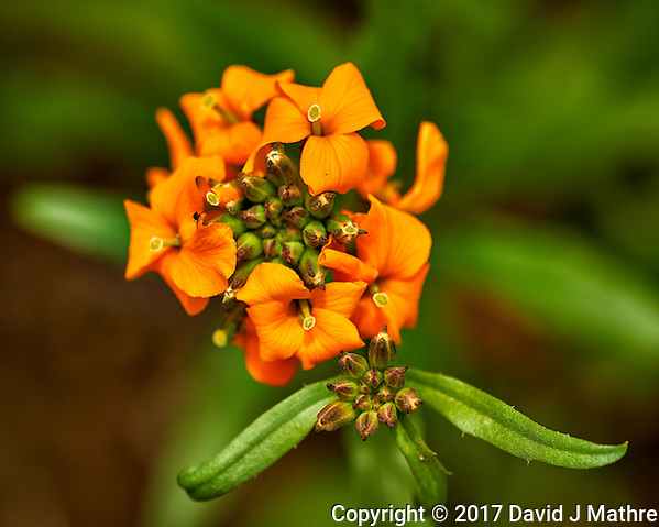 Orange wildflower. Backyard spring nature in New Jersey. Image taken with a Nikon Df camera and 105 mm f/2.8 VR macro lens (ISO 100, 105 mm, f/8, 1/125 sec). (David J Mathre)