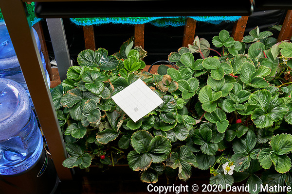 AeroGarden Farm 07-Left. Strawberry Plants (122 days). Image taken with a Leica TL-2 camera and 35 mm f/1.4 lens (ISO 250, 35 mm, f/8, 1/30 sec). (DAVID J MATHRE)