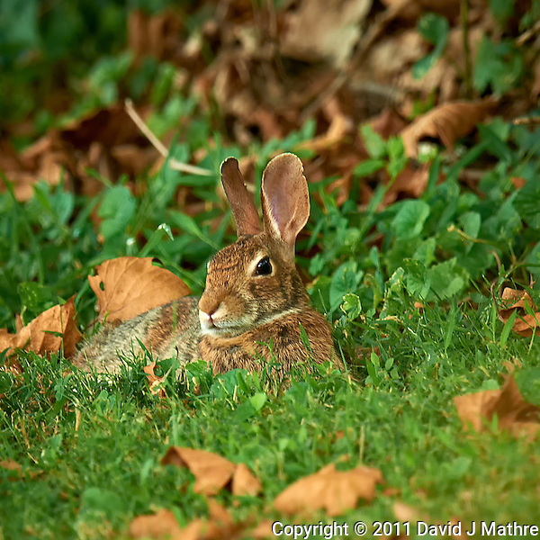 Harvey the Rabbit Resting after Dinner. Backyard Summer Nature in New Jersey. Image taken with a Nikon D3x and 600 mm f/4 VR lens (ISO 200, 600 mm, f/5.6, 1/30 sec). Raw image processed with Capture One Pro, Nik Define 2, and Photoshop CS5. (David J Mathre)