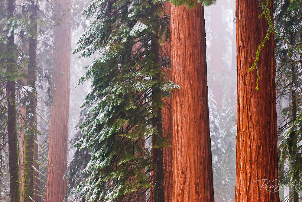 Giant Sequoias in winter, Giant Forest, Sequoia National Park, California
