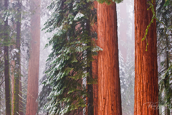 Giant Sequoias (Sequoiadendron giganteum) in winter, Giant Forest, Sequoia National Park, California USA (Russ Bishop/Russ Bishop Photography)