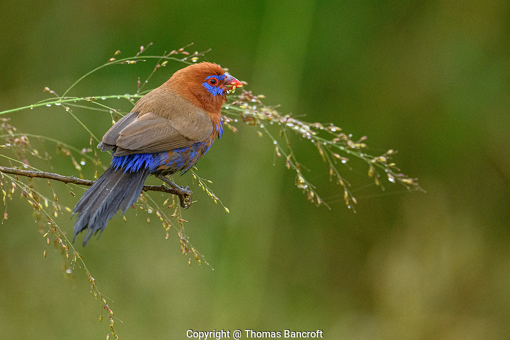 A male Purple Grenadier picks at seeds in Nairobi National Park. (Thomas Bancroft)