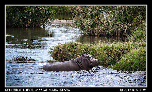 Hippo In The Water.Keekorok Lodge, Maasai Mara, Kenya.September 2012 (Kim Day)