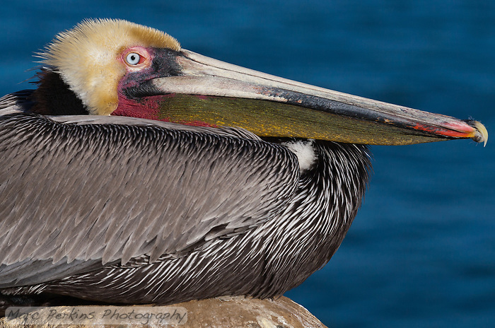 This California brown pelican (Pelecanus occidentalis californicus) is photographed sitting on a rock in front of the ocean. This closeup shows only a portion of the bird, focusing on the beak with its The beak, bill pouch (gular sac), and eye are all sharply in focus, and visible clearly above the folded-up body. (Marc C. Perkins)