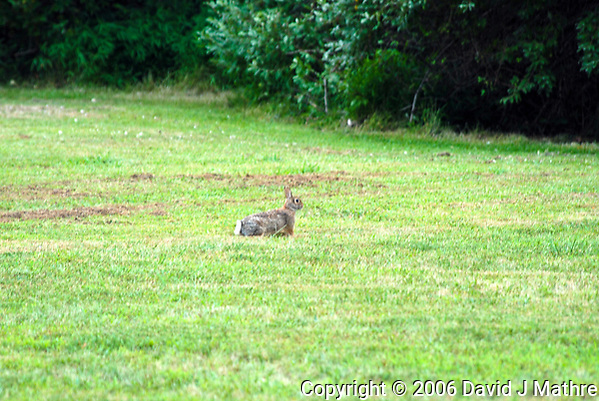 Lone Rabbit. Image taken with a Nikon D200 and 80-400 mm VR lens (ISO 100, 400 mm, f/5.6, 1/10 sec). (David J Mathre)