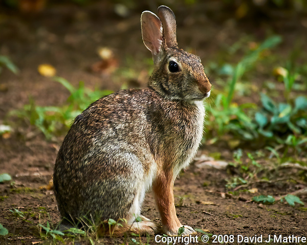 Harvey the Rabbit. Image taken with a Nikon D300 camera and 80-400 mm VR lens (ISO 1600, 400 mm, f/5.6, 1/60 sec). (David J Mathre)